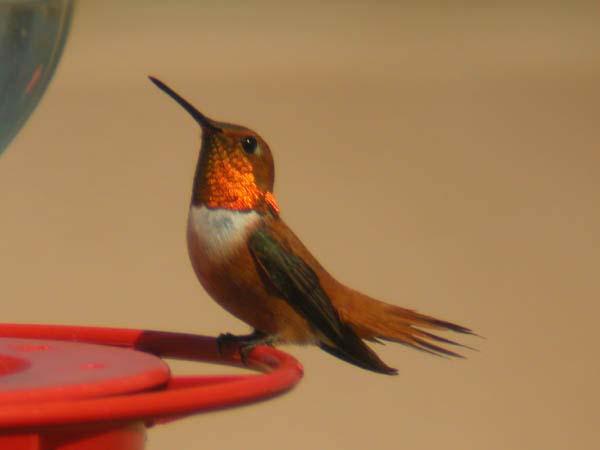 rufoushummingbird