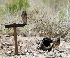 Desert Rivers Audubon, in partnership with the Town of Gilbert and Wild at Heart raptor rescue, installed a burrowing owl habitat at Zanjero Park, Gilbert, AZ (Lindsay Rd. & 202 Fwy.), Fall 2011. Project made possible by a grant from TogetherGreen.